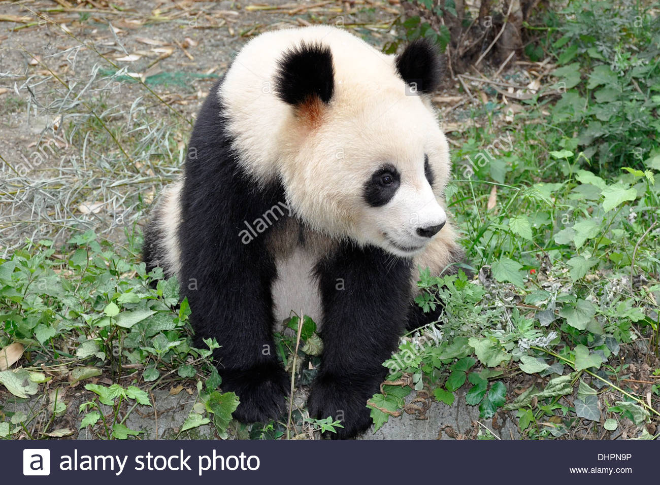 chengdu research base of giant panda breeding,sichuan,cina - Stock Image