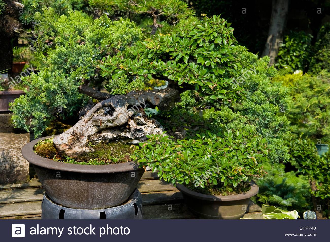 zelkova nire,albonsai,milan,italy - Stock Image