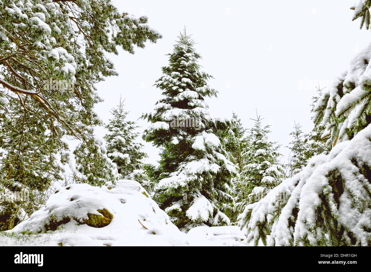 white forest of pines and other conifers Stock Photo