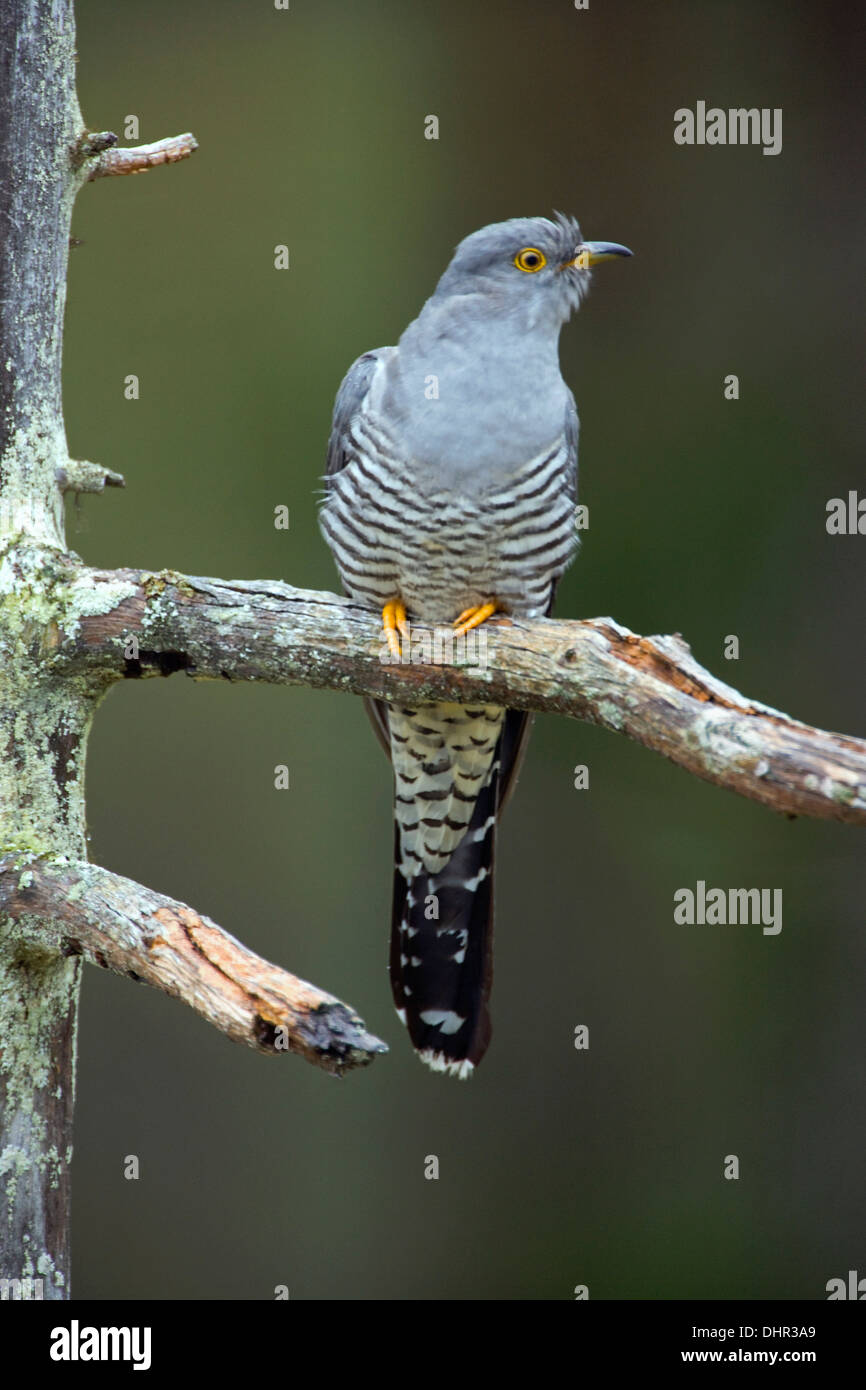 Netherlands, Terwolde, Common Cuckoo (Cuculus canorus) perched on branch in garden - Stock Image