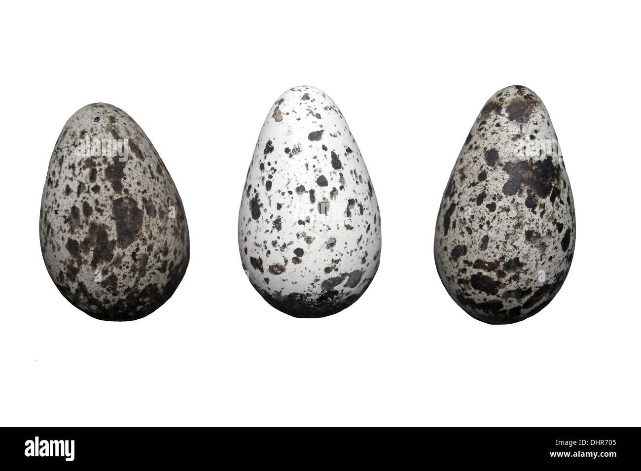 Three Common Guillemot Uria aalge Eggs Showing Variation In Patterning Stock Photo