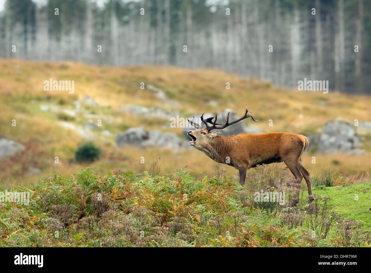 Scottish Stag during rutt Stock Photo