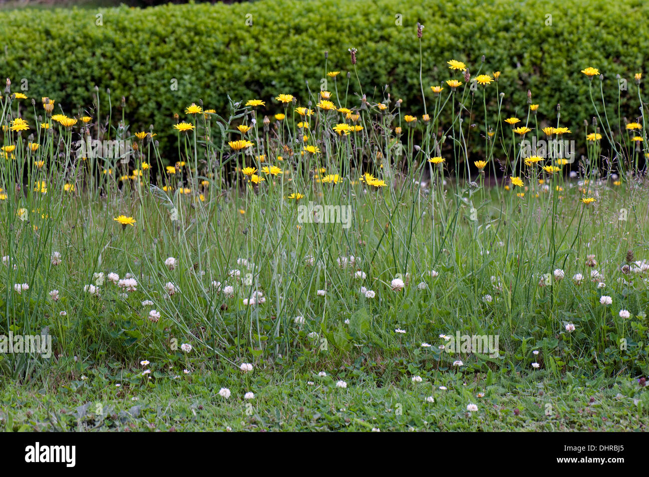 Wild garden flowers to attract invertebrates and encourage natural biological control - Stock Image