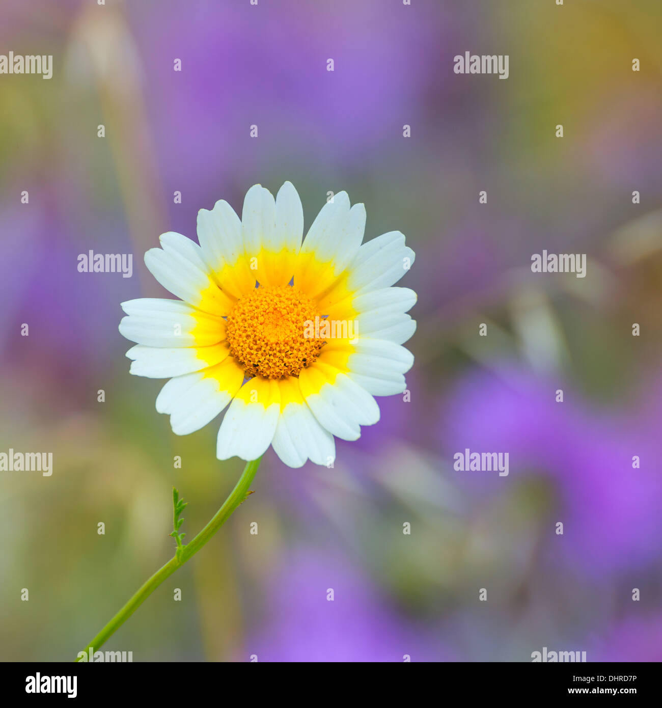 Menorca Spring Daisy White And Yellow Wild Flowers In Balearic Stock