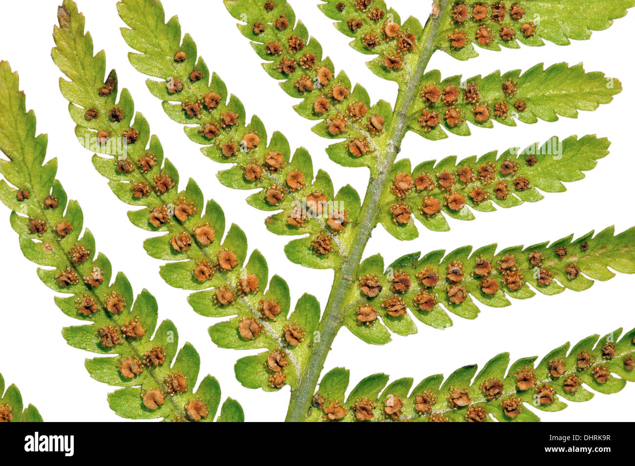 Leaf Of The Male Fern With Mature Sporangia Stock Photo
