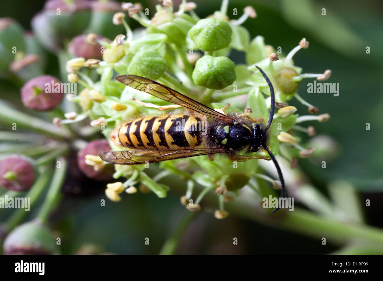 A wasp feeding around some ripening ivy berries in Devon, UK. - Stock Image