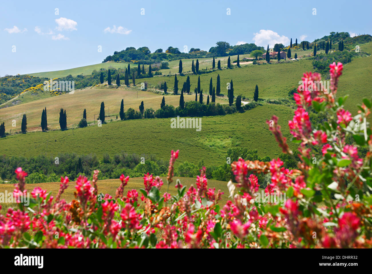 A winding road going amid green hills with flowers in the front, Tuscany, Province of Siena, Italy, Europe. - Stock Image