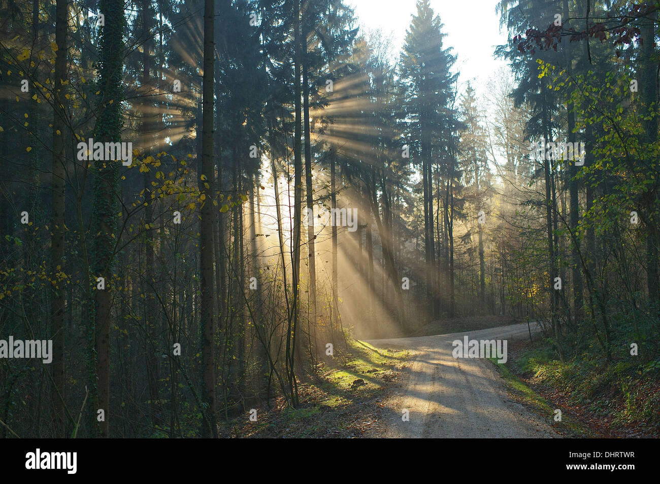 Sun shining through trees into fog thereby the sun rays are made visible. Light through trees. - Stock Image