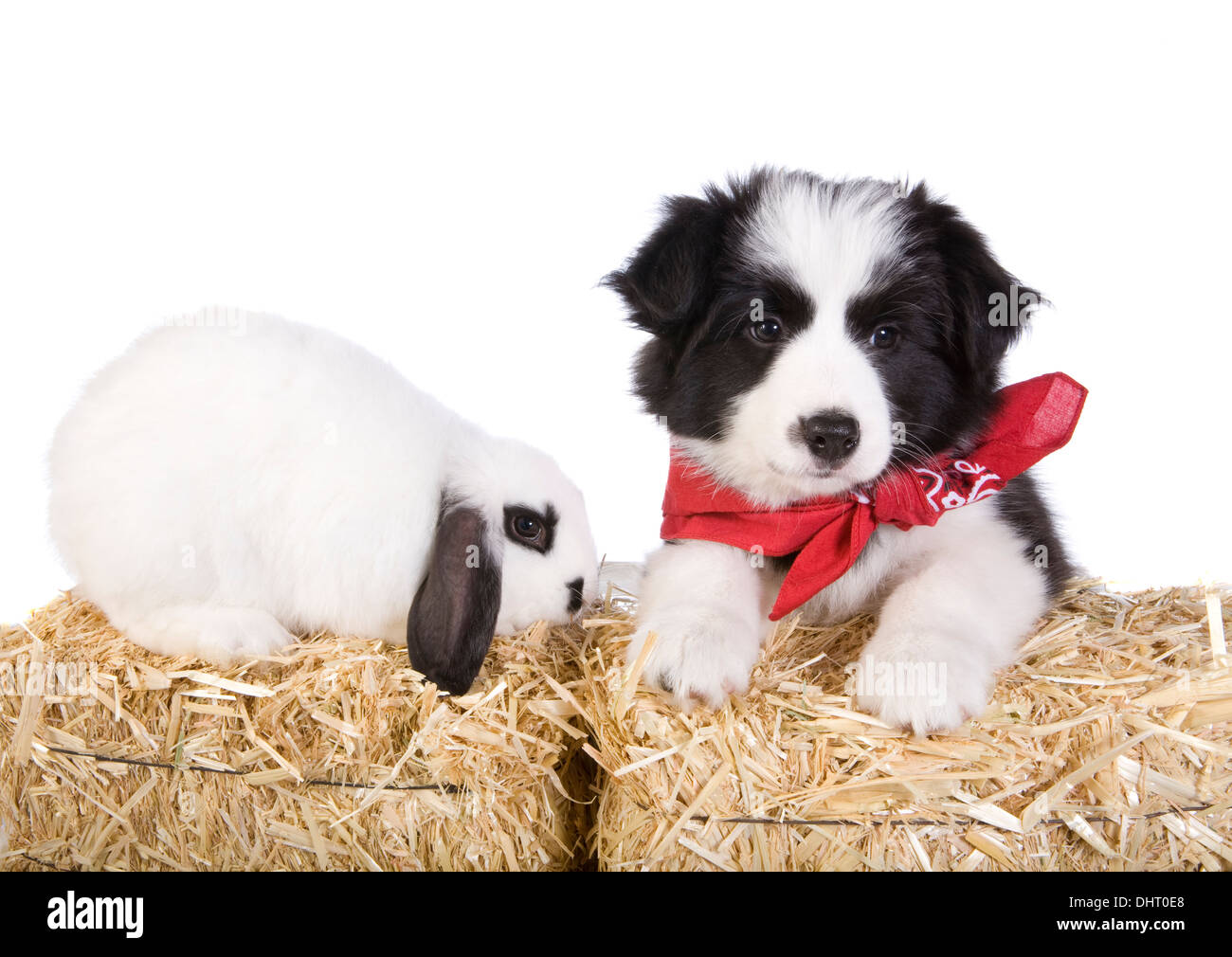 Cute Border collie puppy with black and white lop ear bunny rabbit on straw bales isolated on white background - Stock Image