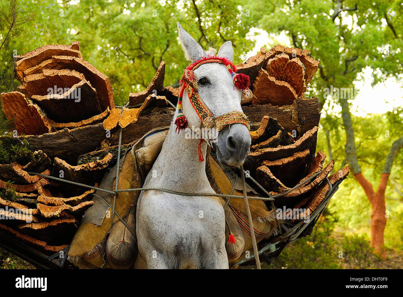 Descorche en los Alcornocales. Trabajos del bosque.Spain.Rural - Stock Image