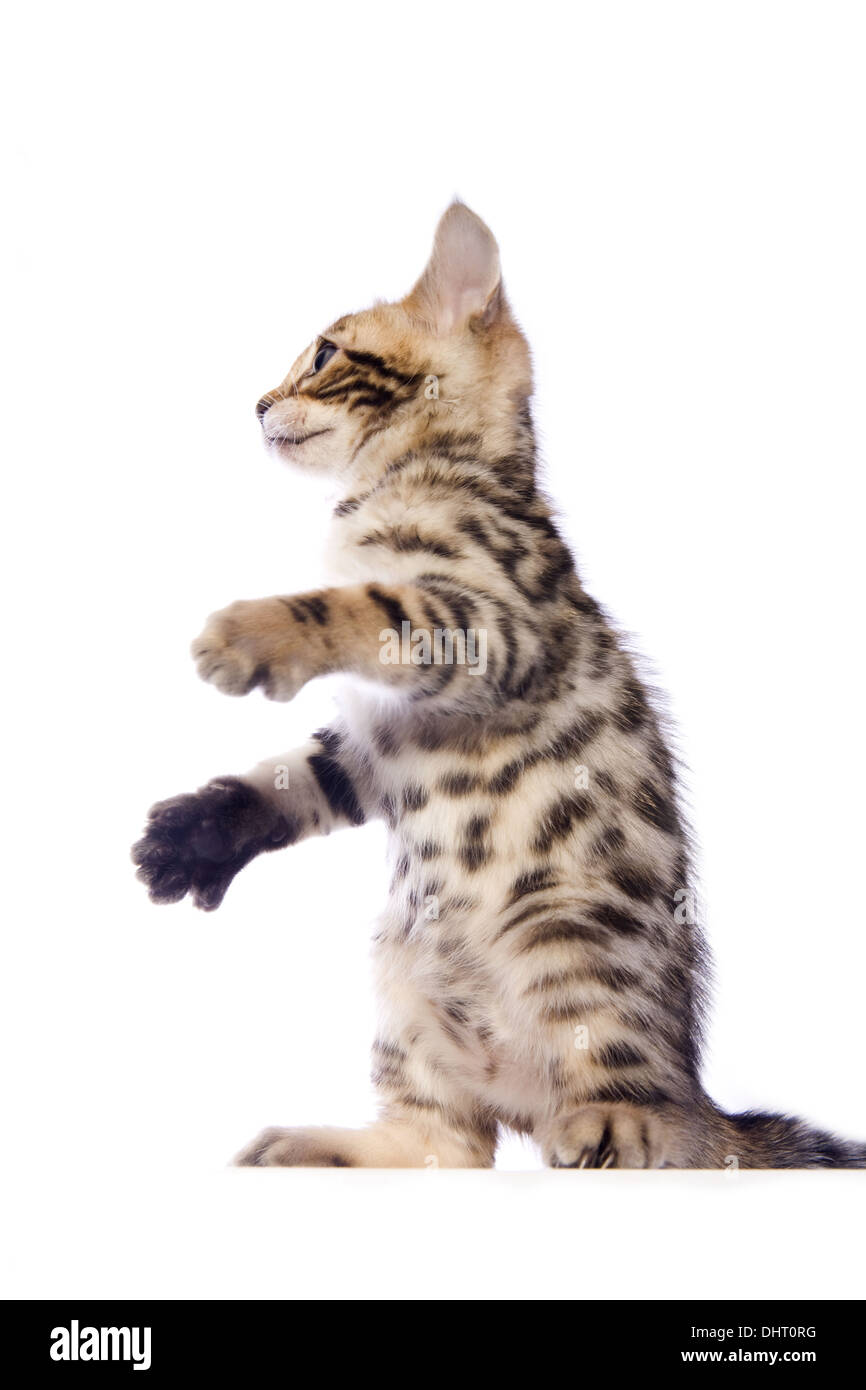 Cute brown Bengal kitten sitting up playing with paws out isolated on white background - Stock Image
