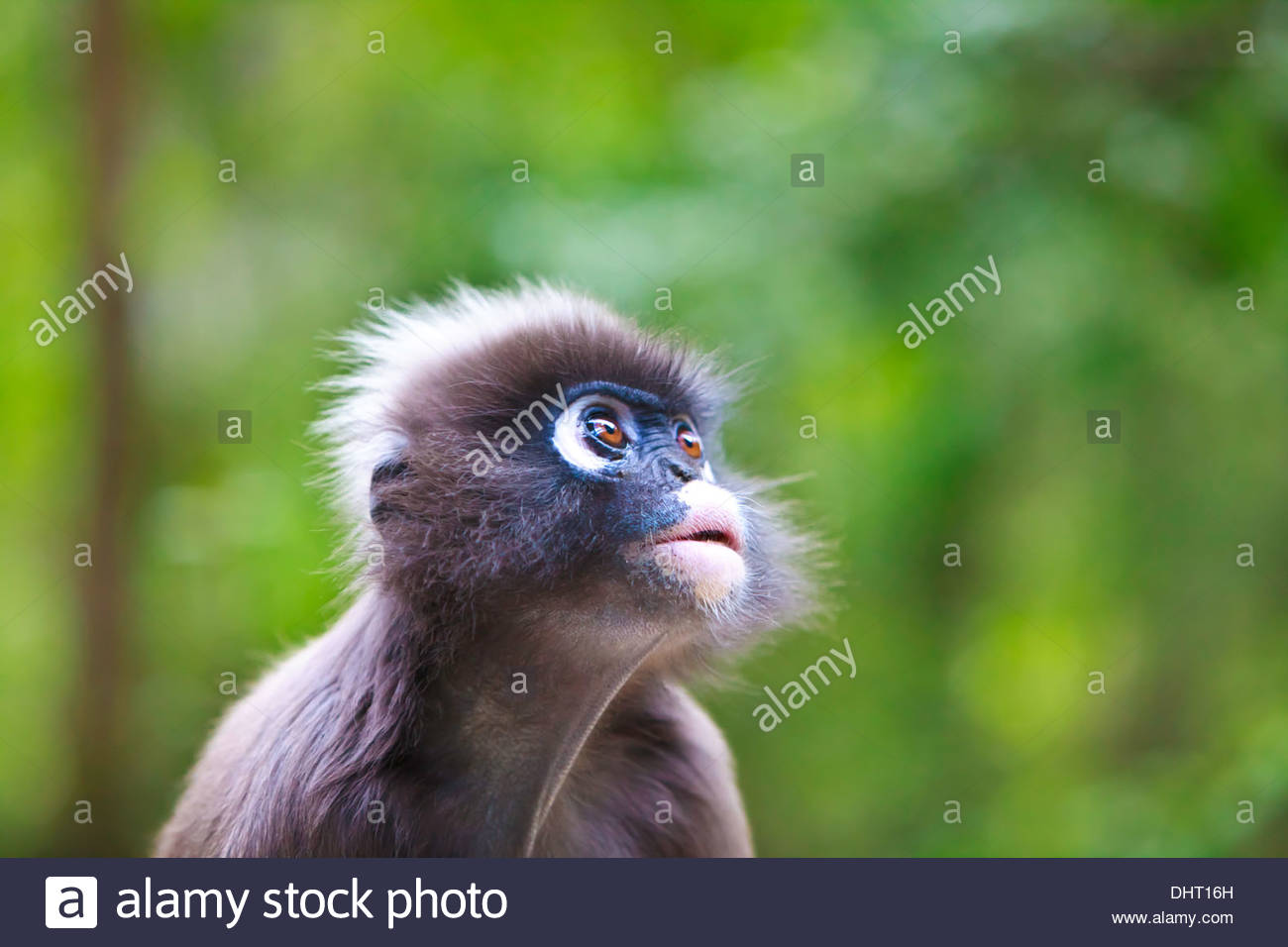 The dusky leaf monkey, spectacled langur, or spectacled leaf monkey (Trachypithecus obscurus) is a species of primate - Stock Image