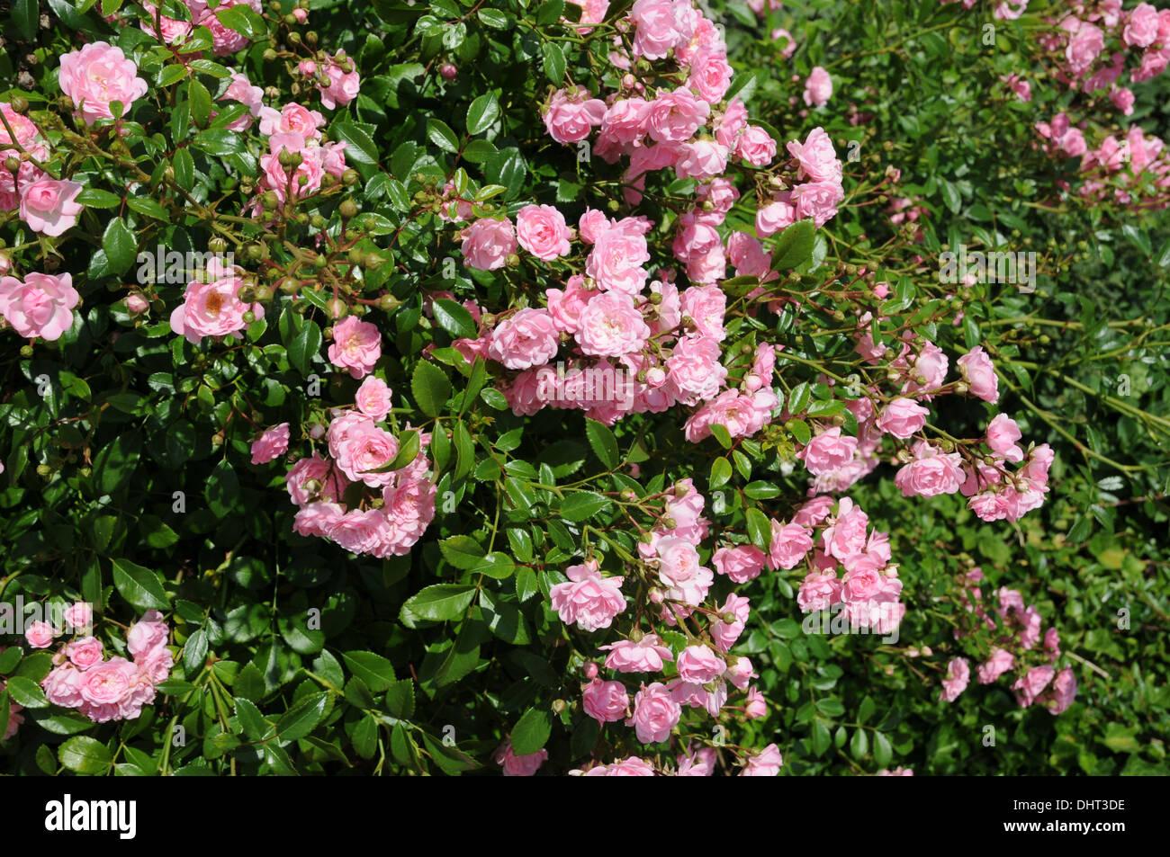 Bodendecker Rosen Stock Photos Bodendecker Rosen Stock Images Alamy