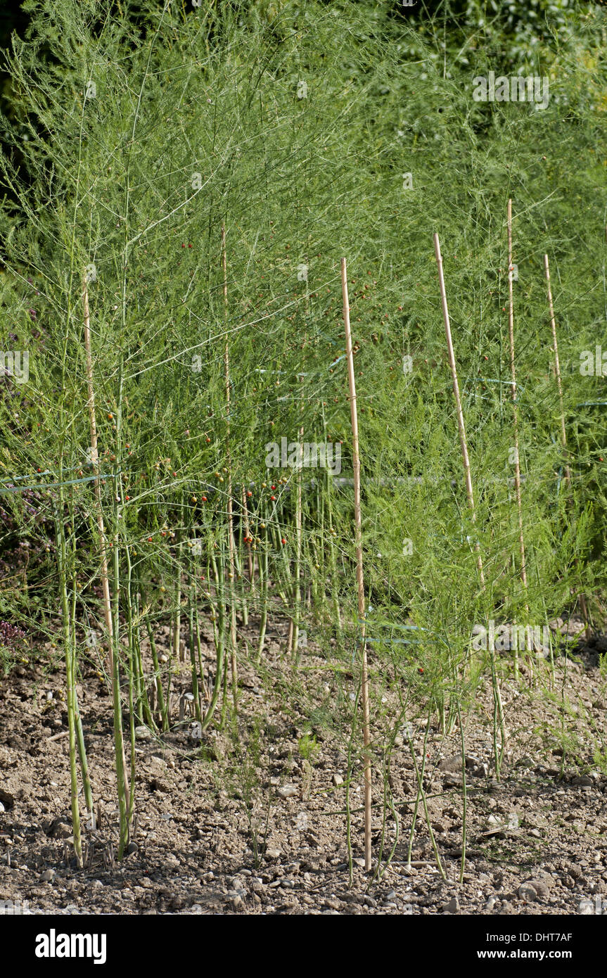 Cultivated asparagus, Asparagus officinalis - Stock Image