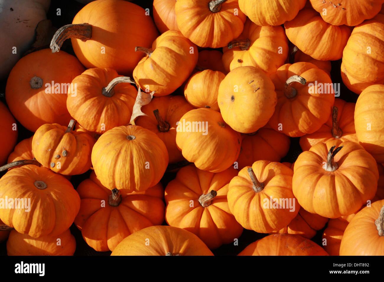 Pumpkins 'Munchkin', Cucurbita pepo, Cucurbitaceae. Aka Squash, Winter Squash, Summer Squash. - Stock Image