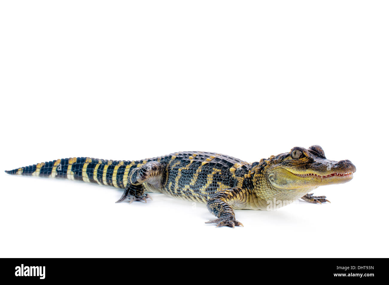 Young American Alligator on white background. Stock Photo