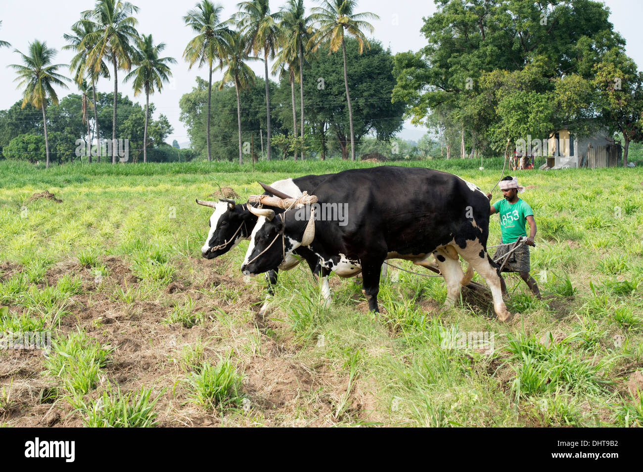 Indian farmer ploughing with bulls using a wooden yoke in the rural indian countryside. Andhra Pradesh, India - Stock Image