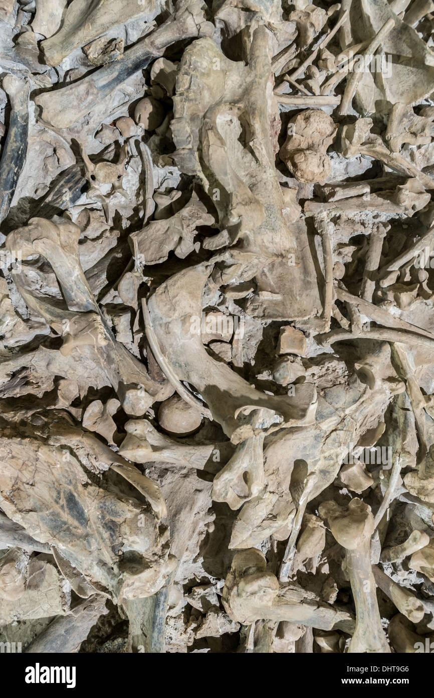A pile of dug up dinosaur bones. - Stock Image