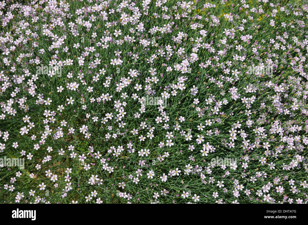 Tunic flowers - Stock Image