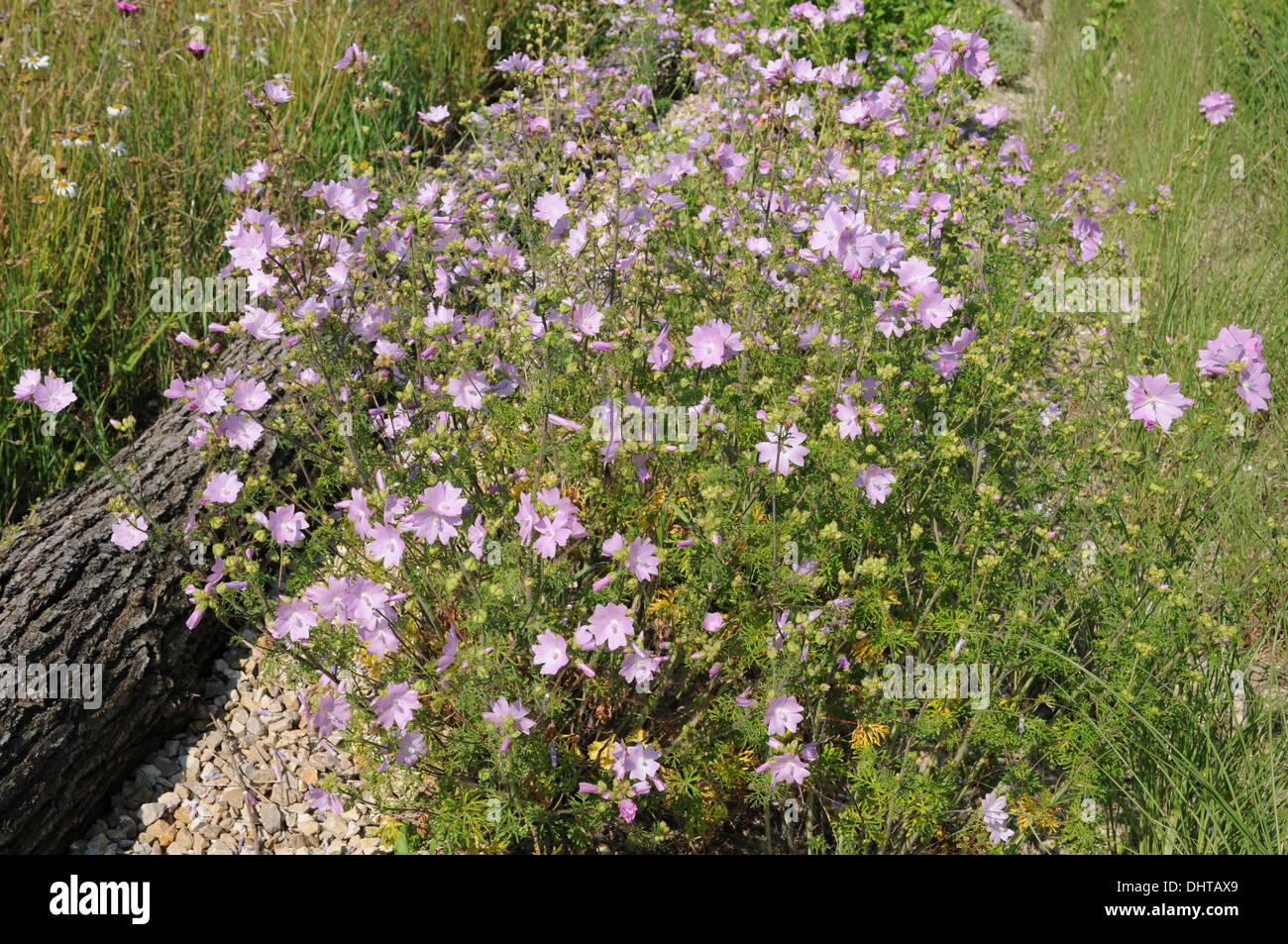Vervain mallow Stock Photo