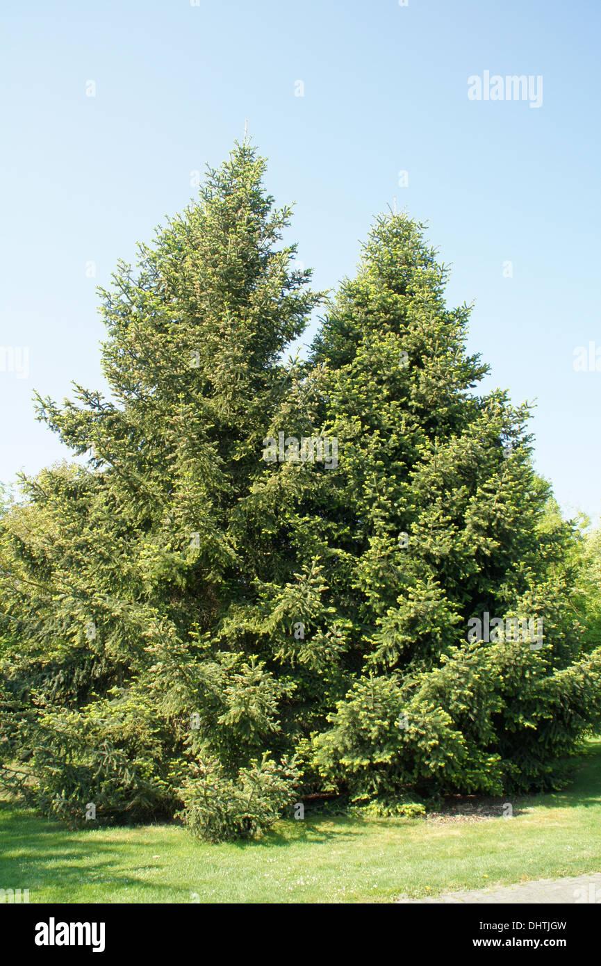 Greek firs - Stock Image