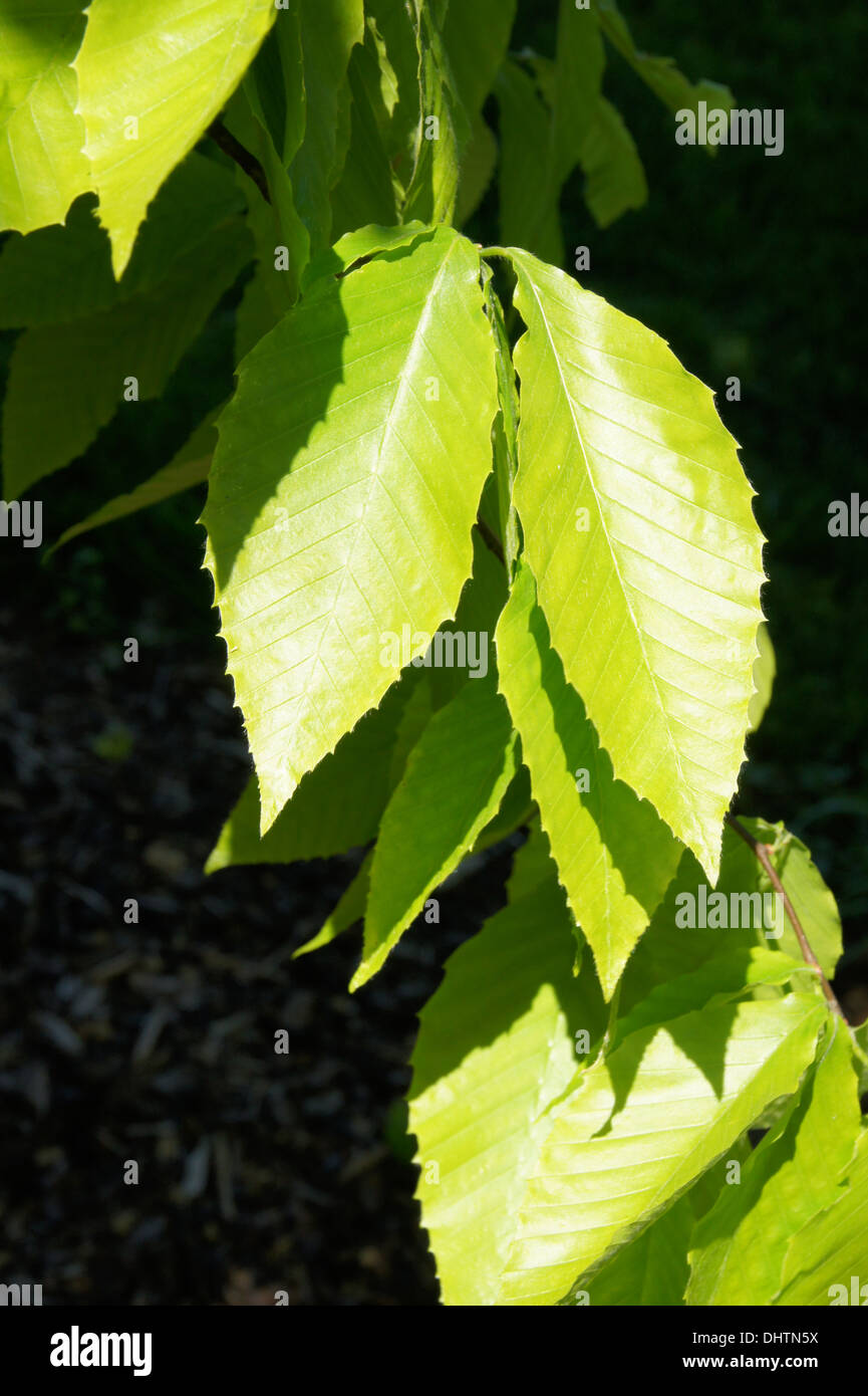 Large-leaved beech Stock Photo
