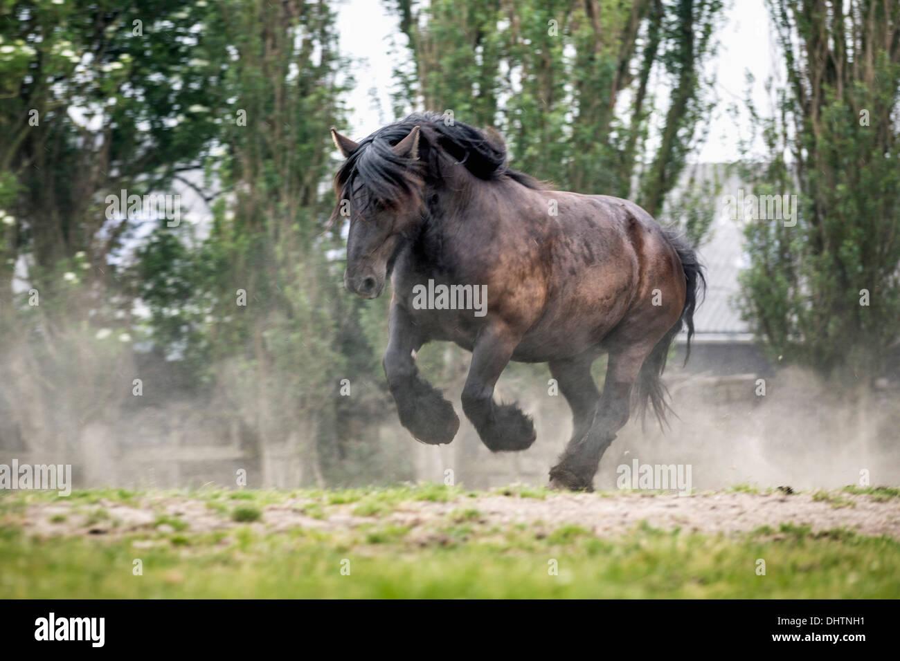 Netherlands, Noordbeemster, Beemster Polder, UNESCO World Heritage Site. Belgian or Zeeland draft horse rears up. - Stock Image
