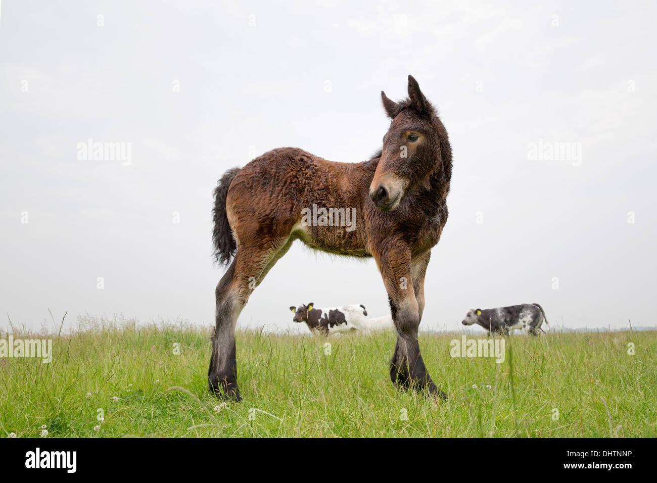 Netherlands, Noordbeemster, Beemster Polder, UNESCO World Heritage Site. Belgian or Zeeland draft horse. Foal - Stock Image