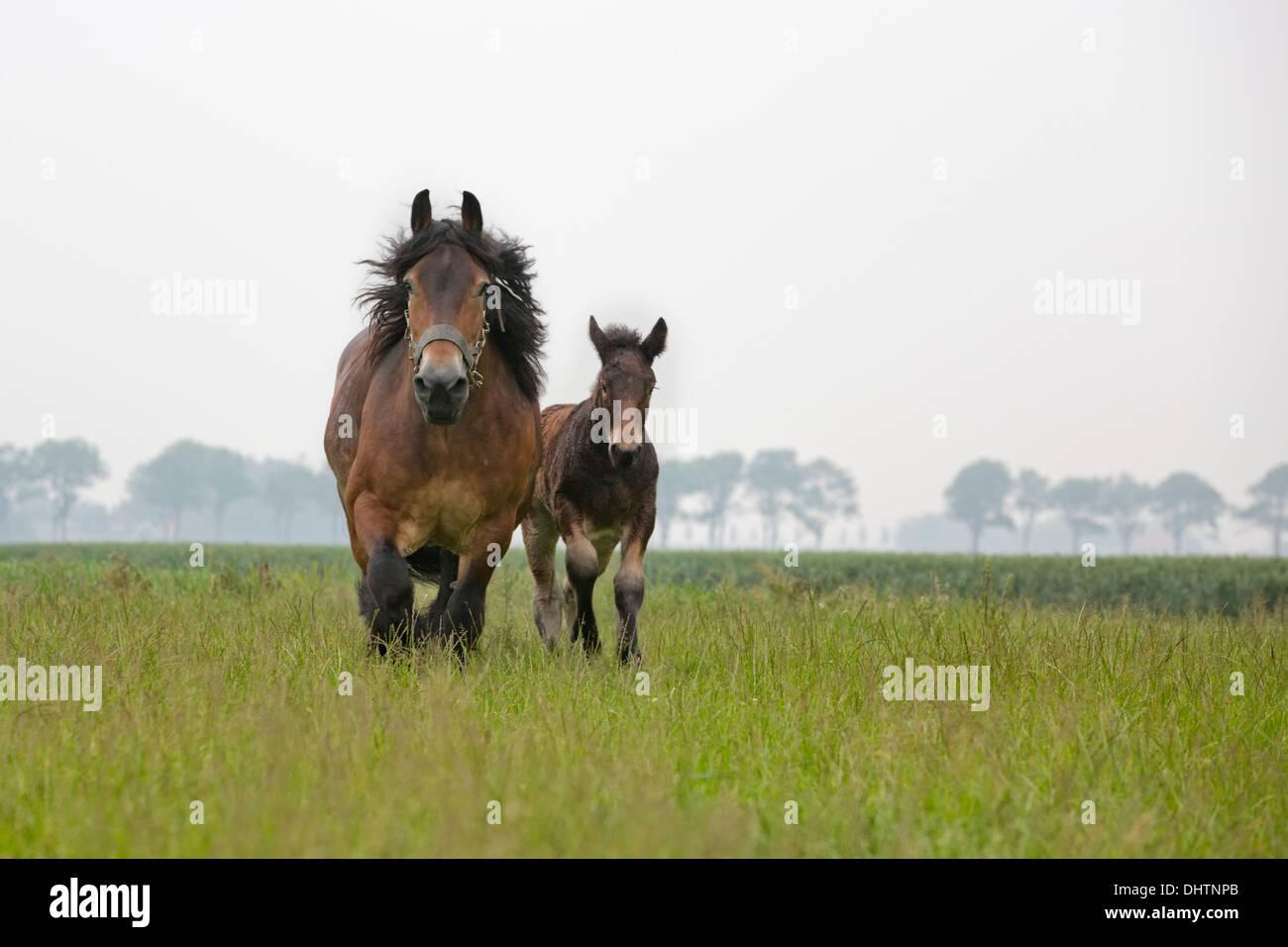 Netherlands, Noordbeemster, Beemster Polder, UNESCO World Heritage Site. Belgian or Zeeland draft horses - Stock Image
