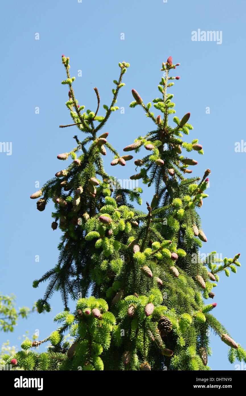 Spruce - Stock Image
