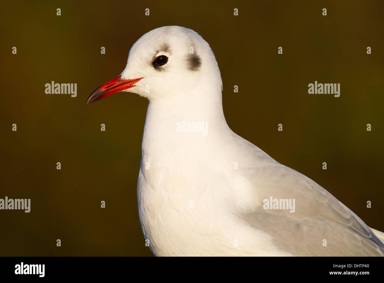 Adult-winter Black-headed Gull (Larus ridibundus) Stock Photo