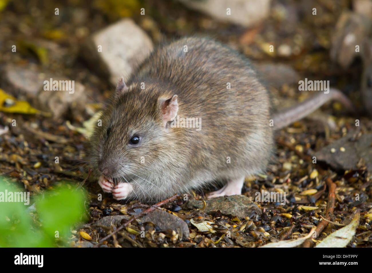 adult Brown Rat (Rattus norvegicus) feeding on spilt grain - Stock Image