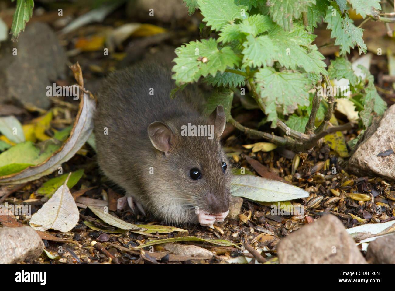 newly-weened Brown Rat (Rattus norvegicus) feeding on spilt grain - Stock Image