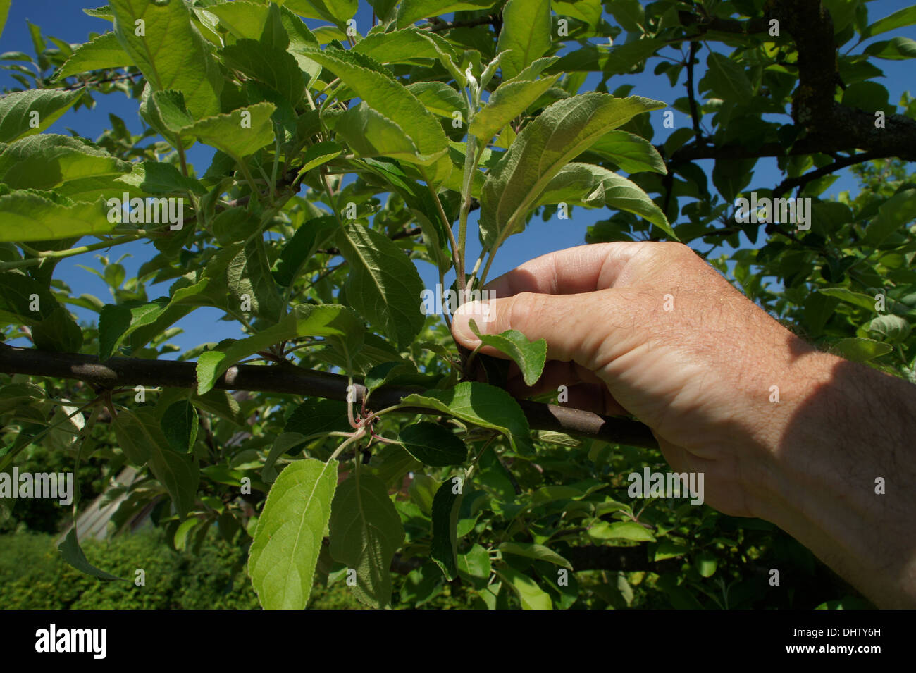 Appletree-pruning in summer Stock Photo
