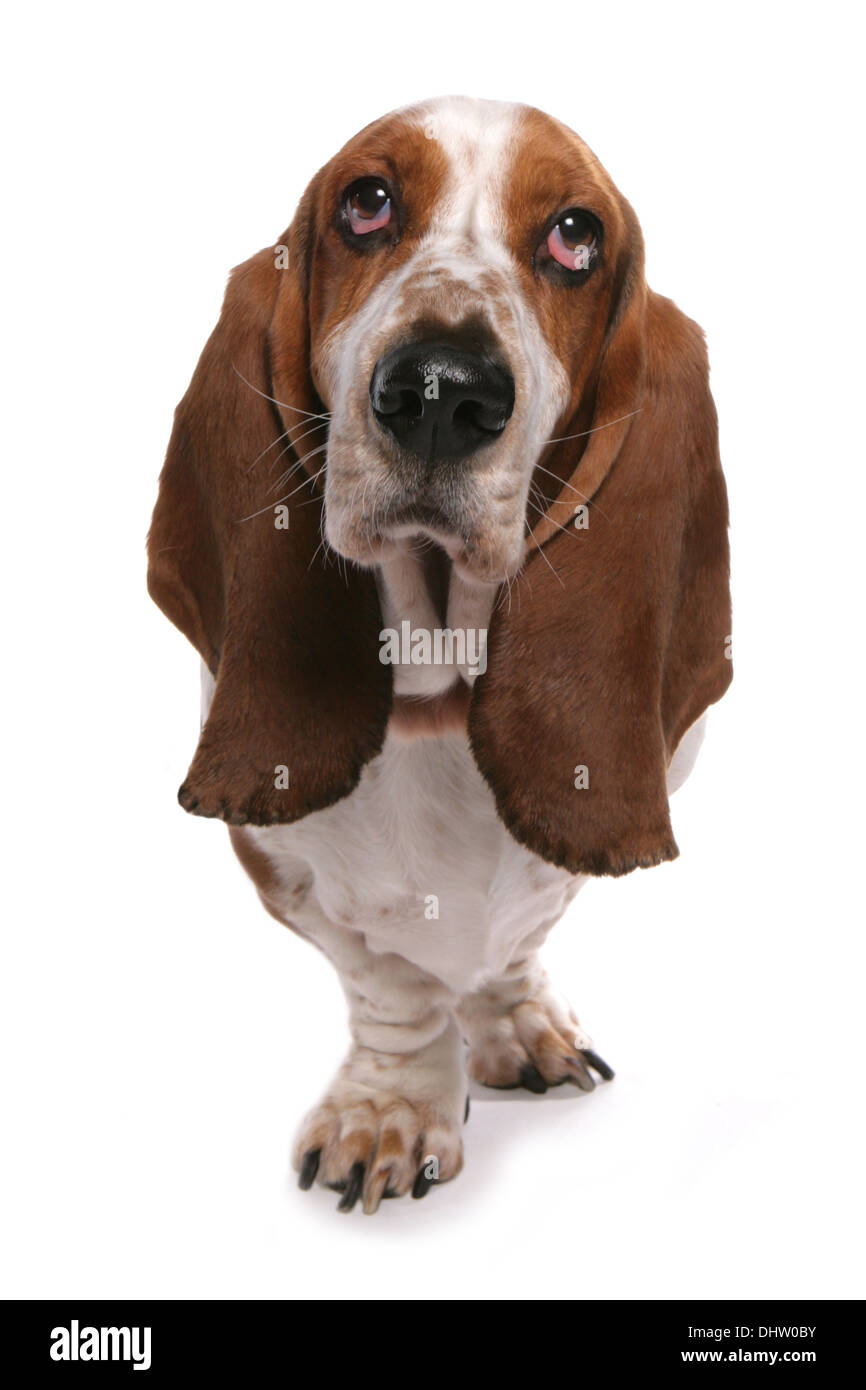 Basset hound Single adult standing in a studio Stock Photo
