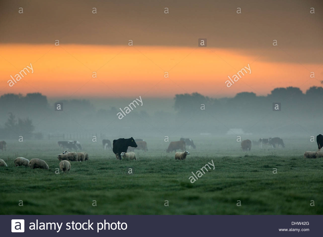 Netherlands, Weesp, Cows and sheep in meadow at sunrise - Stock Image