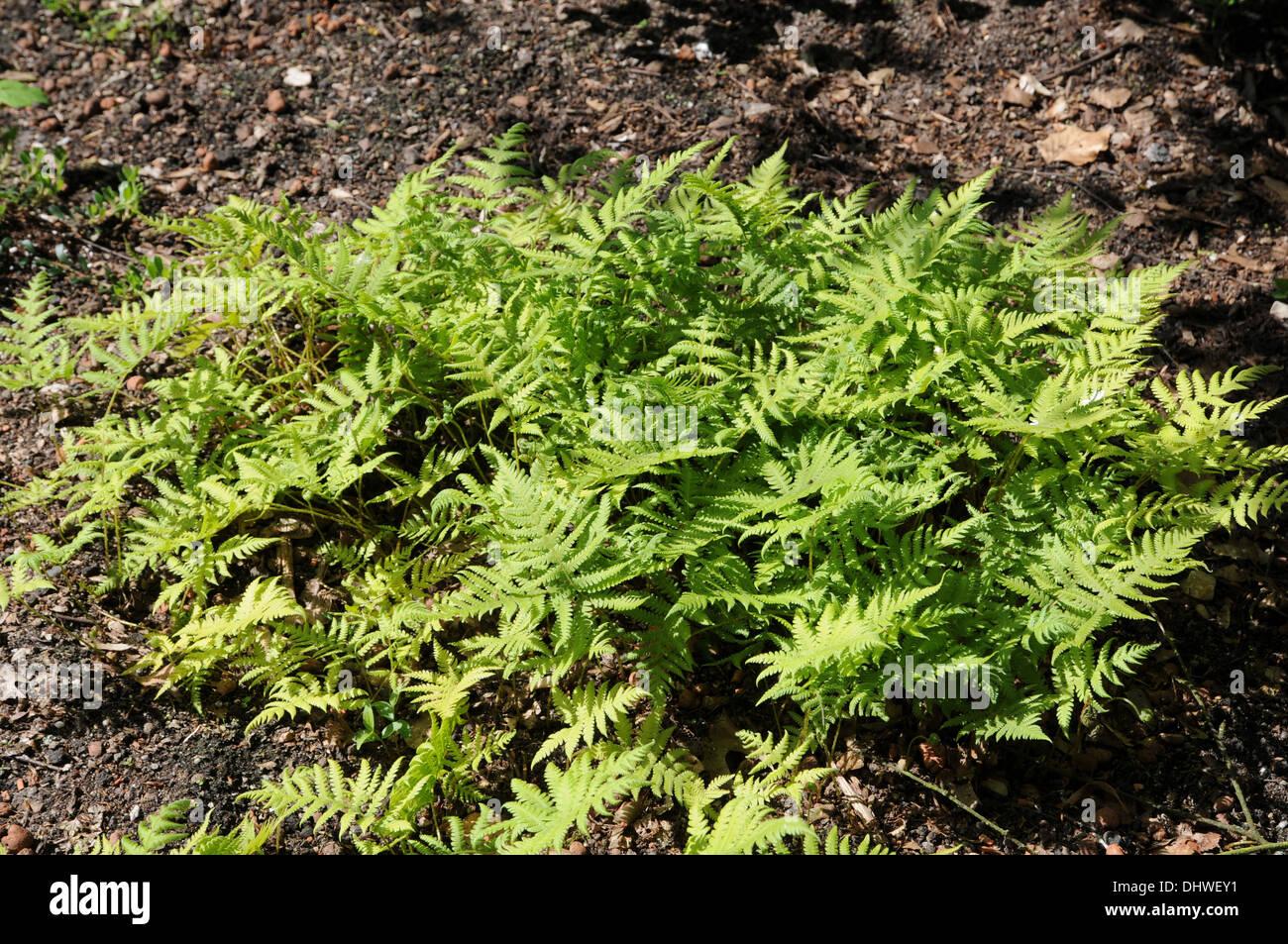 Beech fern Stock Photo