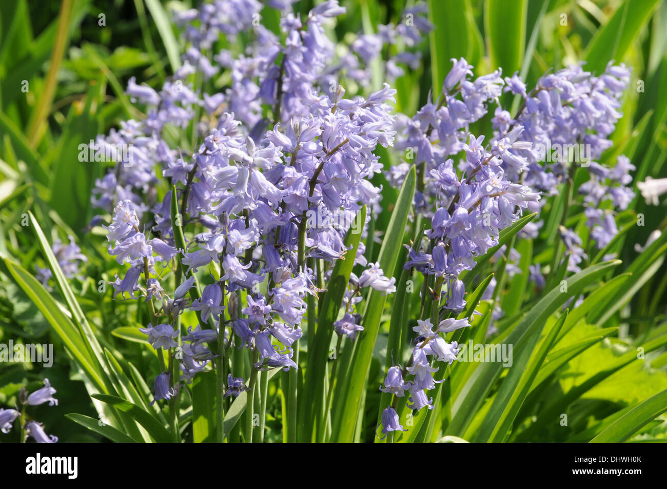 Spanish hyacinth Stock Photo