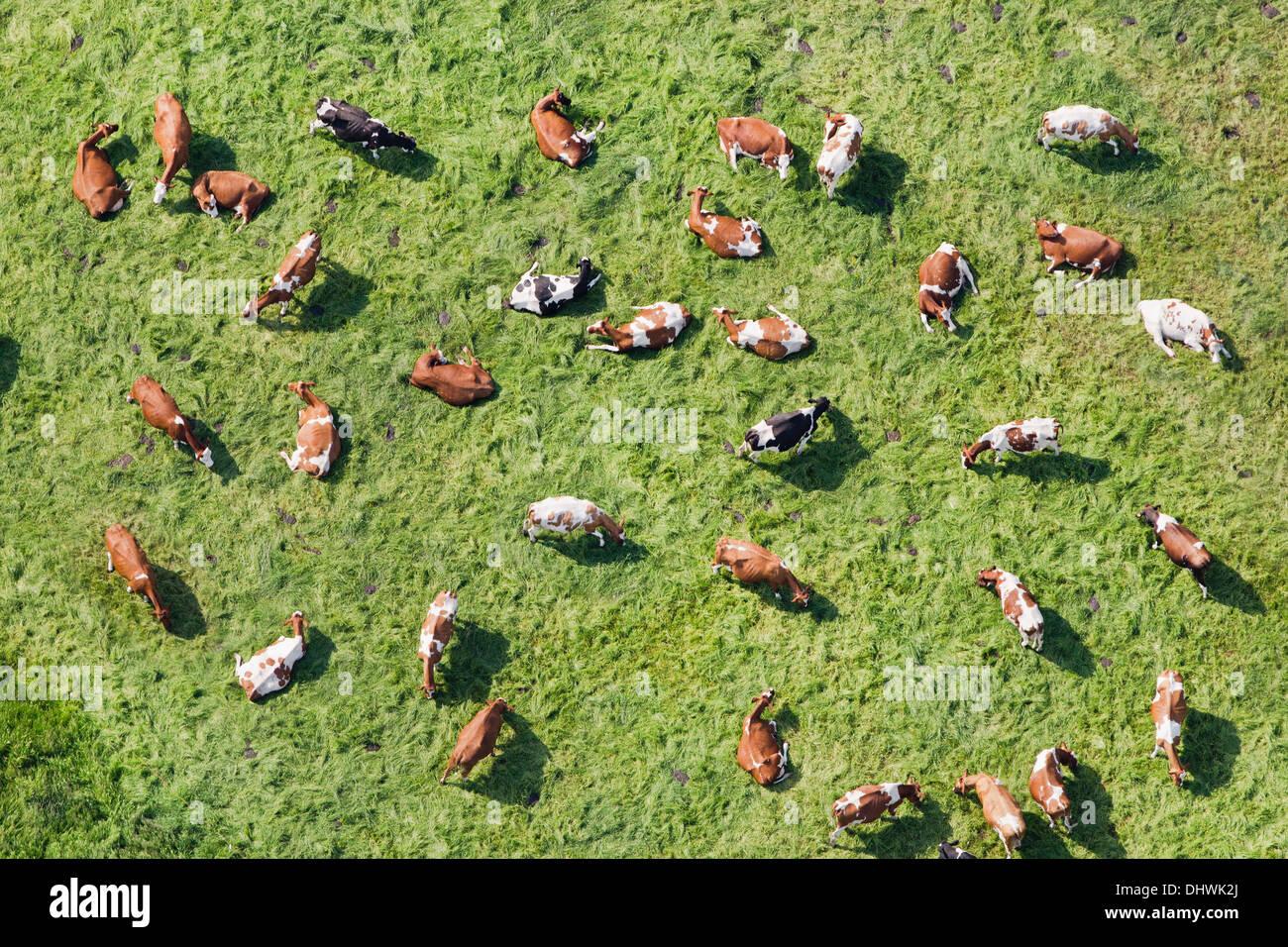 Netherlands, Westbroek, cows in meadow ruminating. Aerial - Stock Image