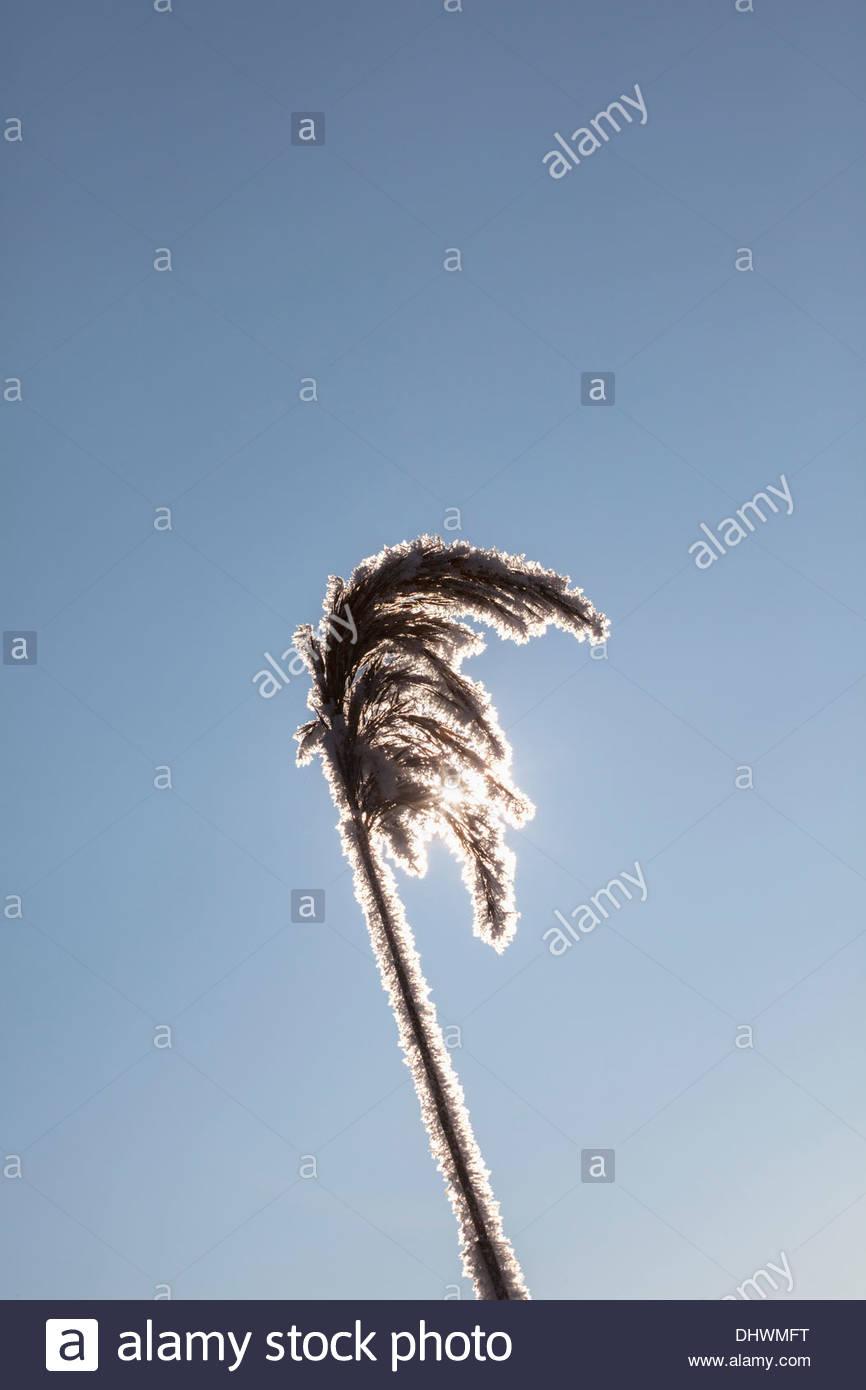 Netherlands, Zegveld, ice crystals on reed plume - Stock Image