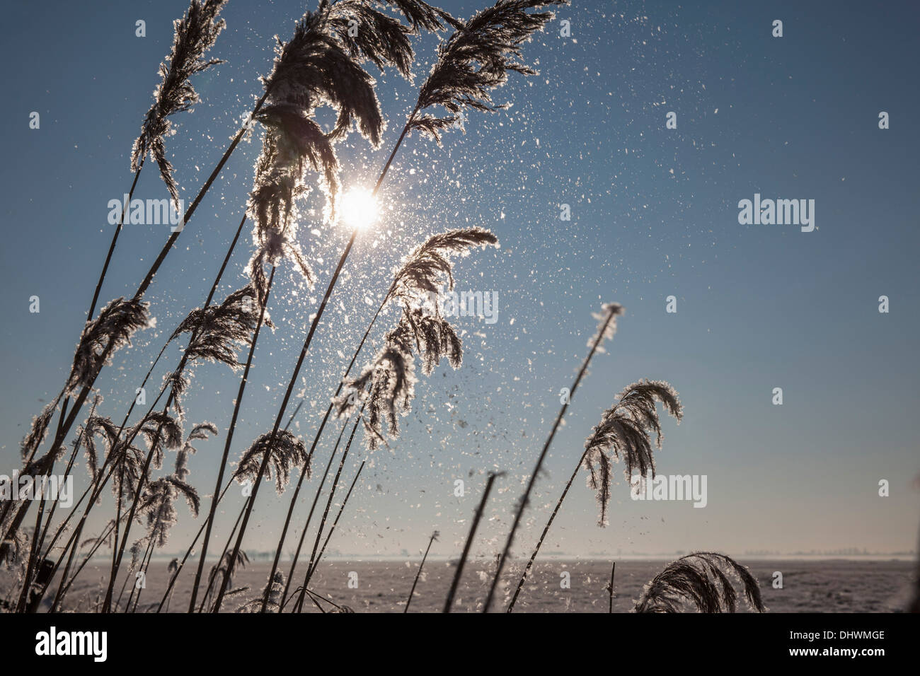 Netherlands, Zegveld, ice crystals on reed plume. background willow trees. Winter - Stock Image