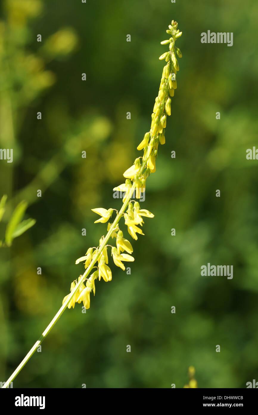 Yellow Clover Flower Stock Photos Yellow Clover Flower Stock
