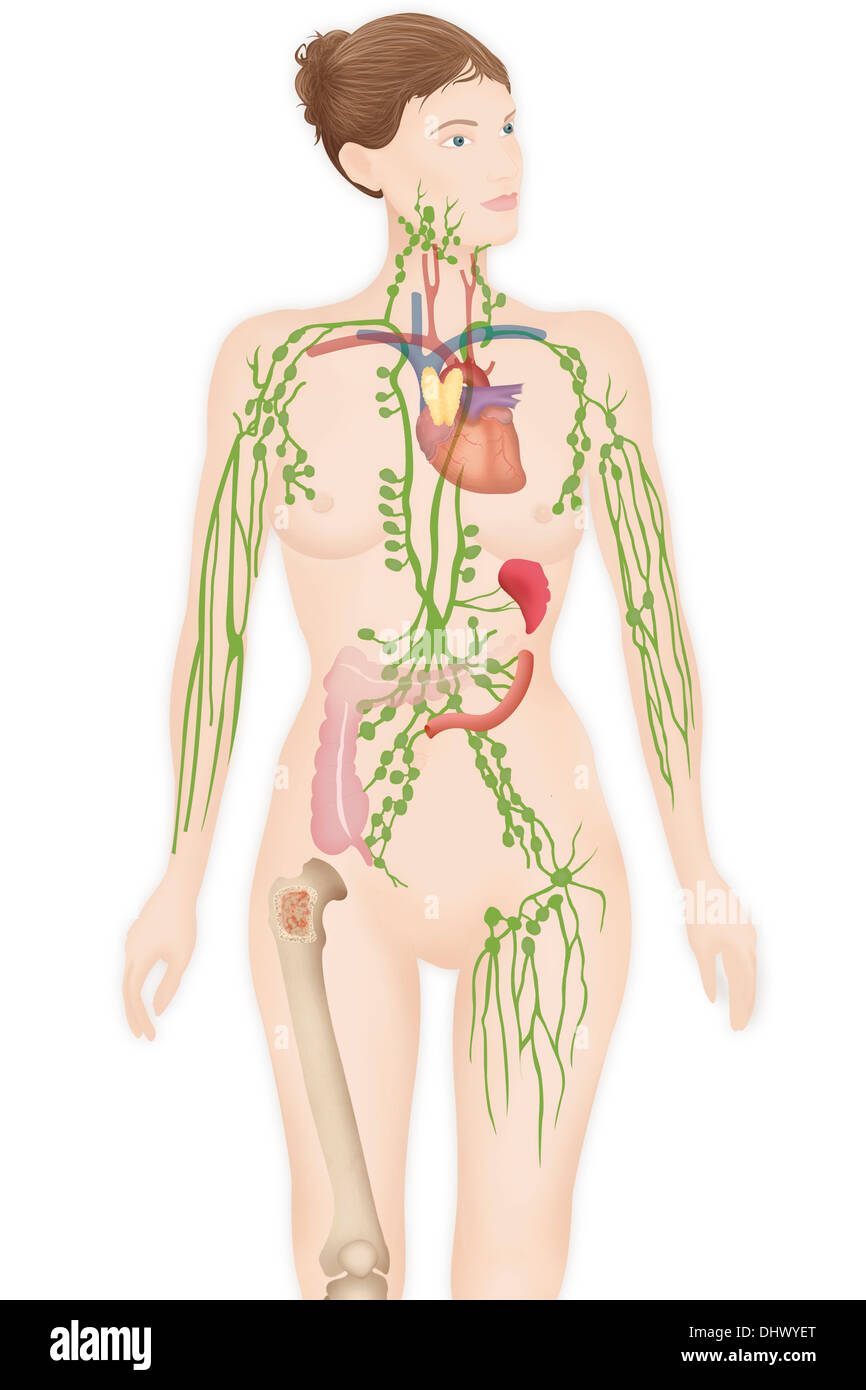 Female Lymphatic System Stock Photos & Female Lymphatic System Stock ...