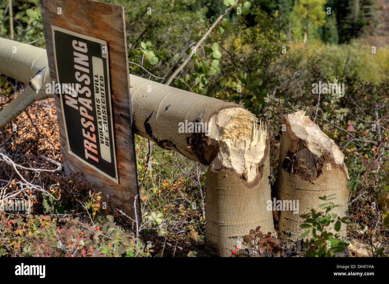 A landowner gets no respect from local beavers - Stock Image