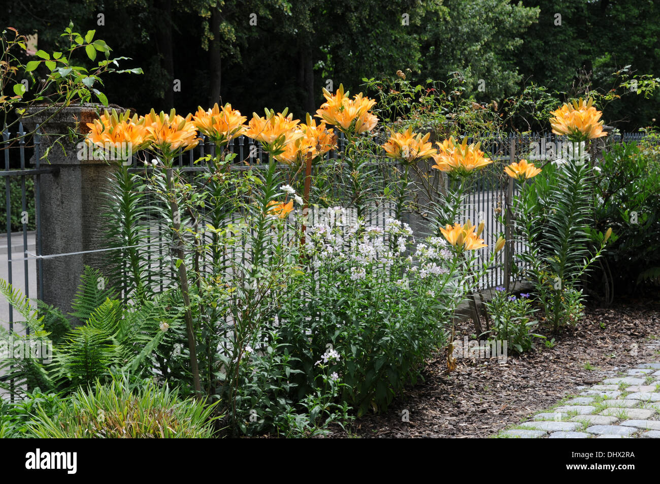 Asiatic lilies - Stock Image