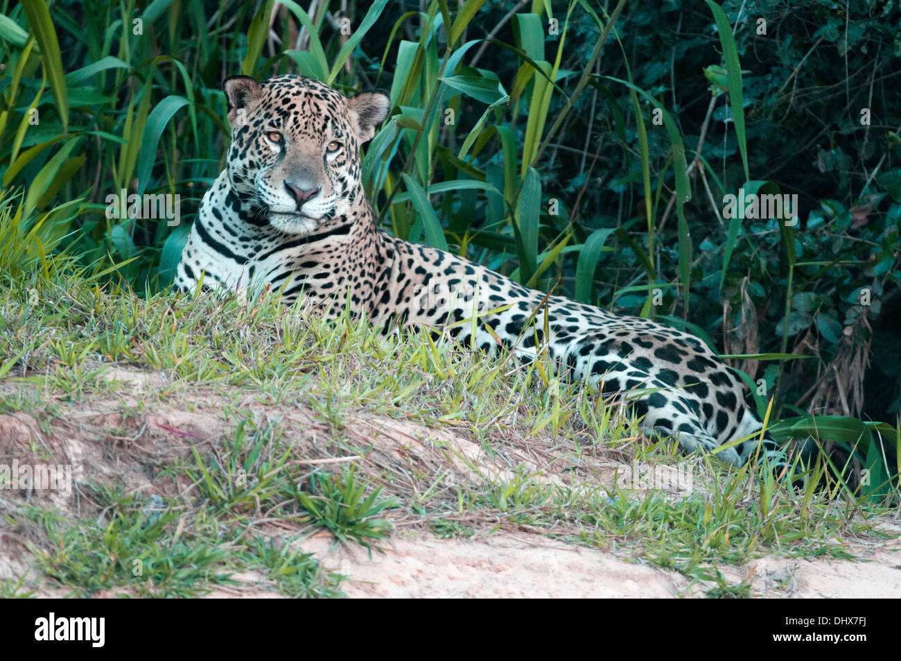 Jaguar in Pantanal region of Brazil - Stock Image