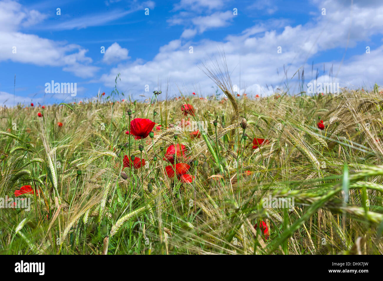 Bright red poppies in a field of wheat almost ready for harvesting on a bright summer's day near Malton in north Yorkshire, UK. - Stock Image