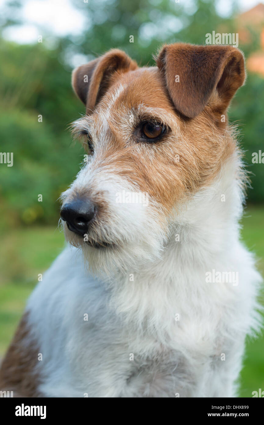 Long Haired Jack Russell Stock Photos Long Haired Jack