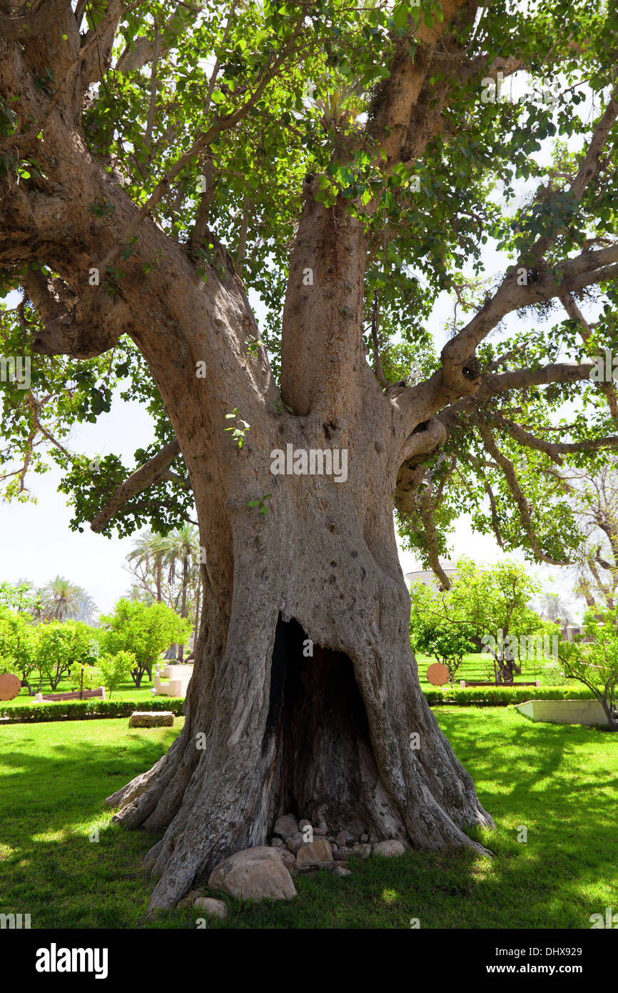 Ancient Sycamore tree in Jericho, Israel - Stock Image