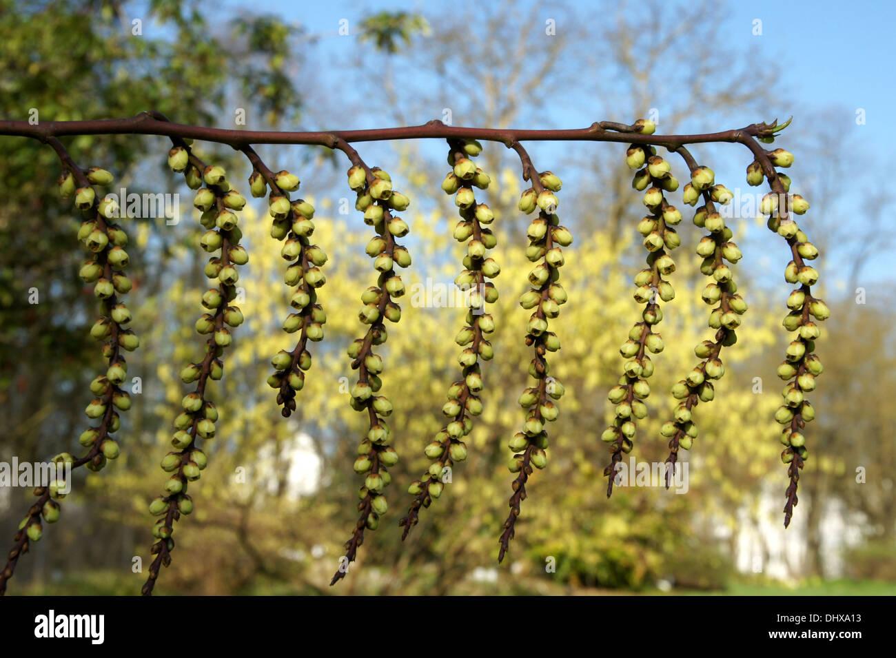 Stachyurus chinensis - Stock Image